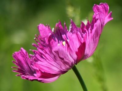 flower-poppy-purple-photo-marian-may-opt